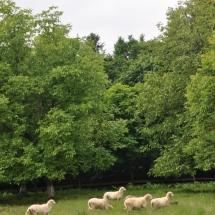 вівці біля Ілемнян л-ва
